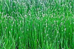 Fresh marsh grass Royalty Free Stock Image