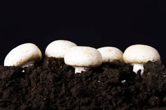 Fresh mashrooms in the ground. Fresh growing mashrooms in the ground. Ocer black background Royalty Free Stock Photography