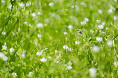 Fresh meadow with little white flowers and insects. Fresh green meadow with little white flowers and insects Royalty Free Stock Photos