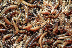 Fresh mealworms food for animals Royalty Free Stock Photo