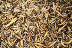 Fresh mealworms food for animals Royalty Free Stock Images