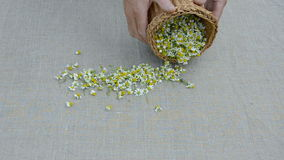 Fresh medical herbs chamomile blossoms on linen cloth stock video footage