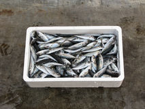 Fresh Mediterranean horse mackerel,. Purse seine fishing in polystyrene box Royalty Free Stock Photos