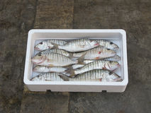 Fresh Mediterranean Striped seabream. Polystyrene box Stock Images