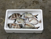 Fresh Mediterranean Two-banded seabream Royalty Free Stock Image