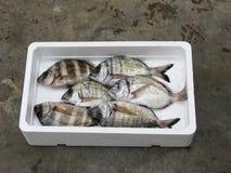 Fresh Mediterranean Two-banded seabream. Polystyrene box Royalty Free Stock Image
