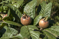 Fresh medlar fruit Stock Photography