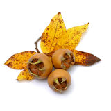 Fresh medlars Stock Photography