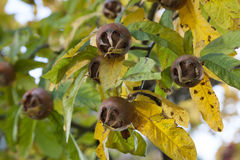Free Fresh Medlars Close Up Stock Image - 61857211