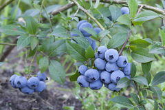 Fresh mellow blueberries on the green Bush. Royalty Free Stock Photography