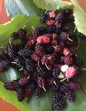 Fresh mellow mulberry. Red& black mulberry with green leaves stock photos
