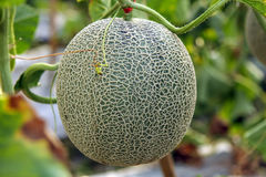 Fresh Melon or Cantaloupe fruit on tree Royalty Free Stock Images