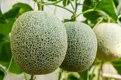 Fresh melon from farm Royalty Free Stock Images