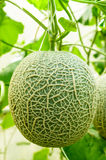 Fresh melon from farm Royalty Free Stock Image