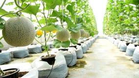 Fresh melon farm