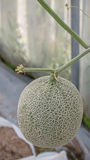 Fresh melon in a vegetable garden Stock Images