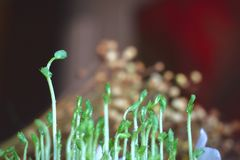 Fresh micro greens closeup. Growing sunflower sprouts for healthy salad stock photo