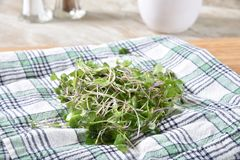 Fresh micro greens. Organi sprouts of broccoli, alfalfa, kale, red cabbage, amaranth, mustard and other greens royalty free stock photography