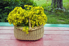Fresh midsummer St. John's wort in  basket on  wooden table Royalty Free Stock Photo