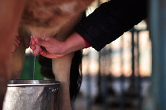Fresh Milk and Agriculture Based Tourism. Cow is milked on daily basis in Nasu Japan which provides the people with fresh pastured milk. It also useful for eco Royalty Free Stock Photo