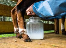 A pet goat being milked at a farm in florida. Fresh milk from a nubian goat being squirted into a glass jar Stock Image