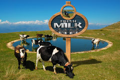 Fresh Milk - Wooden Sign with Grazing Cows Royalty Free Stock Photos