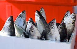 Fresh milkfish for sale Royalty Free Stock Image