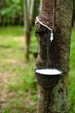 Fresh milky Latex flows from para rubber tree into a bowl. Fresh milky Latex flows from para rubber tree into a plastic bowl stock photo