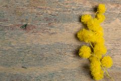 Fresh mimosa flower on wooden table Royalty Free Stock Photo