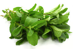 Fresh Mint. Isolated on white Royalty Free Stock Images