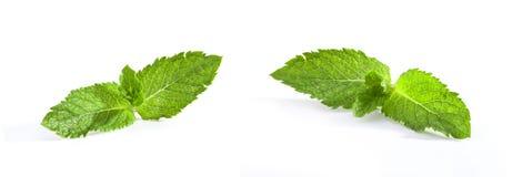 Fresh Mint. Isolated on a white background stock image
