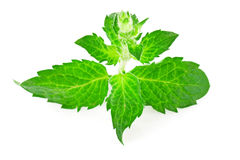Fresh mint Royalty Free Stock Image