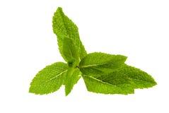 Fresh mint Stock Image