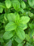 Fresh mint. Growing in the garden Royalty Free Stock Photography