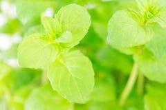Fresh mint Royalty Free Stock Image