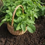 Fresh mint in basket Royalty Free Stock Photography