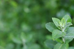 The fresh mint branch`s green background. The one branch of fresh mint close-up in the corner on blurred dark green background royalty free stock photography