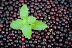 Fresh mint and cherries. Fresh mint on background of sweet organic dark cherries royalty free stock photos