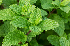 Fresh Mint Stock Image