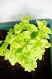 Fresh mint Royalty Free Stock Photos
