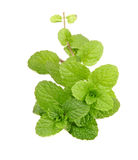 Fresh mint close up on white Royalty Free Stock Image