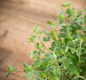 Fresh mint Royalty Free Stock Photo