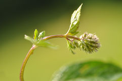 Fresh Mint Closeup Stock Photography