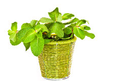 Fresh mint in a decorative bucket. On a white background Stock Photography