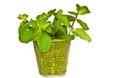 Fresh mint in a decorative bucket. Fresh ment in a decorative bucket on a white background Royalty Free Stock Photography