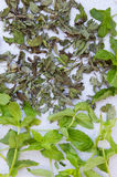 Fresh mint for drying and dry mint on a neutral gray background. Royalty Free Stock Image