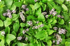 Fresh mint with flowers. As background Stock Photo