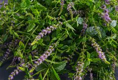 Fresh mint with flowers on a dark background stock photo