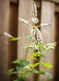 Fresh mint flowers. Fresh mint flowers in garden Stock Photos