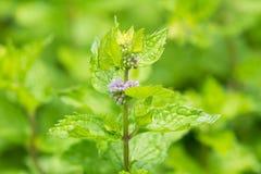 Fresh mint flowers in garden. Close up of Fresh mint flowers in garden Royalty Free Stock Images